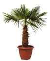 CHAMAEROPS : plante en location