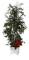 Location de mobilier : location plante FICUS - POINSETTIA