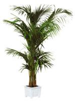Location de mobilier : location plante KENTIA